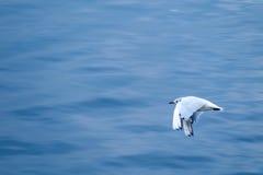 Meeuwzeemeeuw die met zwarte kop over water vliegt stock foto