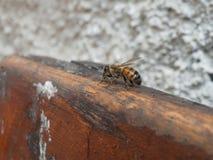 mega fotografia osamotniona pszczoła zdjęcia royalty free