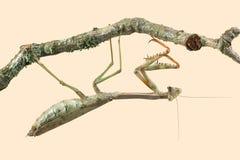 Mega Mantis Plistospilota guineensis Stock Photos