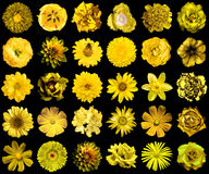 Mega pack of natural and surreal yellow flowers 30 in 1 isolated Stock Images