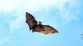 Megabat, voo do cão do voo da raposa de voo, Maldivas imagem de stock royalty free