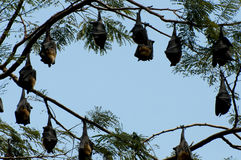 Megabats circle - Sri Lanka Stock Photo
