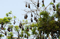 Megabats - Sri Lanka Stock Images