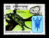 megacephalum dalla testa grarice di Platysternon della tartaruga, serie delle tartarughe, circa 1998 Immagini Stock Libere da Diritti
