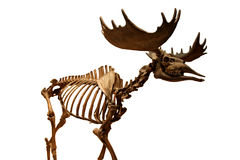 Megaloceros giganteus Isolated Stock Images