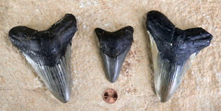 Megalodon Shark Teeth. Royalty Free Stock Photo