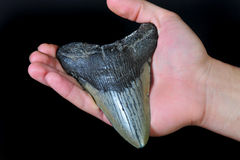 Megalodon shark tooth Royalty Free Stock Images