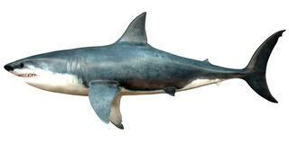 Megalodon Side Profile Stock Photography