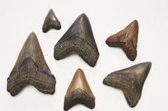 Megalodon teeth Stock Photography