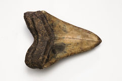 Megalodon Tooth Royalty Free Stock Images