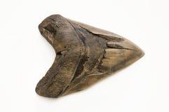Megalodon ząb Fotografia Royalty Free