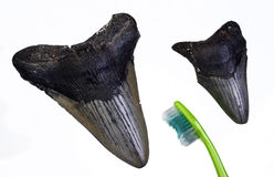 Megalondon Shark teeth. Stock Photography