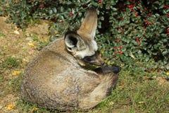 Летуч-ушастая лиса под кустом ягоды стоковое фото