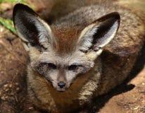 Megalotis Pipistrello-Eared di Fox Otocyon Fotografia Stock Libera da Diritti