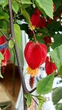 Megapotamicum d'Abutilon photos libres de droits