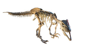 Megaraptor (Megaraptor namunhuaiquii) skeleton isolated. Megaraptor is a genus of large theropod dinosaur that lived in the Coniacian stage of the Late Royalty Free Stock Image