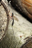 Megarhyssa Wasp (Ichneumonidae) Royalty Free Stock Images