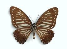 megarus papilio łaciasta spodu zebra Fotografia Royalty Free