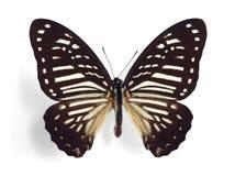 megarus papilio łaciasta zebra Obrazy Stock