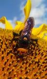 Megascolia maculata Obraz Royalty Free