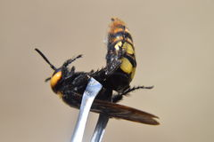 Megascolia maculata. The mammoth wasp. Stock Image