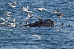 Megattera che si alimenta con i gabbiani di mare Immagini Stock Libere da Diritti