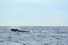 Megattera nell'oceano Immagine Stock Libera da Diritti