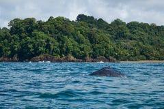 Megattera in oceano blu vicino alla linea costiera della giungla Fotografia Stock