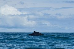 Megattera in oceano Pacifico fotografia stock libera da diritti