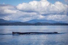 Megattera sola nell'Alaska Fotografie Stock Libere da Diritti