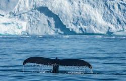 Megattere che si alimentano fra gli iceberg giganti, Ilulissat, Greenla Immagine Stock