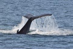 Megattere con la coda che schiaffeggiano acqua Immagine Stock Libera da Diritti