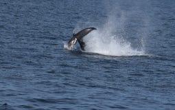 Megattere con la coda che schiaffeggiano acqua Fotografia Stock Libera da Diritti