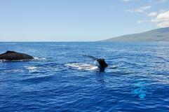 Megattere in Lahaina, Maui (Hawai) fotografia stock