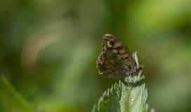 Megera di Lasiommata fotografia stock libera da diritti