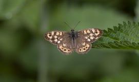 Megera di Lasiommata fotografie stock libere da diritti