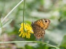 Megera di Lasiommata, o farfalla di marrone della parete che si siede su un fiore giallo fotografia stock libera da diritti