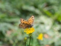 Megera di Lasiommata, o farfalla di marrone della parete che si siede su un fiore giallo fotografie stock libere da diritti