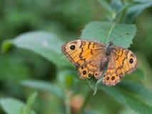 Megera di Lasiommata, o farfalla di marrone della parete che si siede su una foglia verde fotografia stock