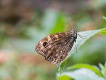 Megera di Lasiommata, o farfalla di marrone della parete che si siede su una foglia verde fotografia stock libera da diritti