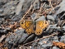 Megera di Lasiommata, o farfalla di marrone della parete che si siede su una terra immagini stock