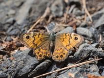 Megera di Lasiommata, o farfalla di marrone della parete che si siede su una terra immagine stock