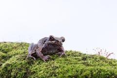 Megophrysparva Lesser Stream Horned Frog: kikker op witte rug Royalty-vrije Stock Foto's