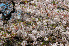 Cherry trees along Meguro River,Meguro-ku,Tokyo,Japan in spring. royalty free stock image
