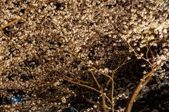 Meguro Sakura (Cherry blossom) Festival. Cherry blossom full bloom in spring season at Meguro river, Tokyo, Japan. Many visitors to Japan choose to travel in royalty free stock images