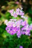 Mehlhaltige Blüte der Primel Lizenzfreies Stockbild