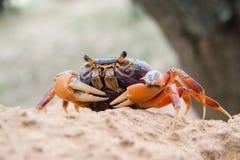 Mehlige Krabbe (Thaipotamon Chulabhorn) Lizenzfreies Stockfoto
