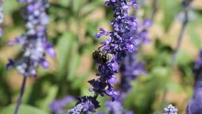 Mehlige Schalen-Sage Salvia Farinacea-Nahaufnahme, selektiver Fokus stock footage