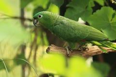 Mehliger Amazonas Lizenzfreie Stockfotos