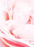 Mehltau auf Rosen Lizenzfreies Stockbild